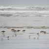 Thumbnail image for Flock to See Shorebirds in Grays Harbor