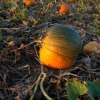 Thumbnail image for Corn Mazes, Pumpkins and Hot Cider