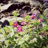 Thumbnail image for Q: Peak Wildflowers at Mt. Rainier National Park?